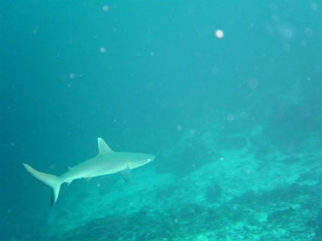 Burma Banks shark