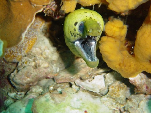 Fimbriated Moray. North Little Torres dive site