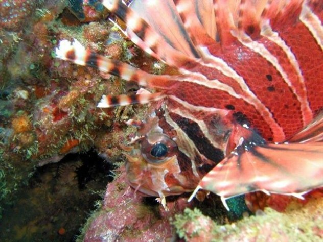 western rocky dive site. Lionfish