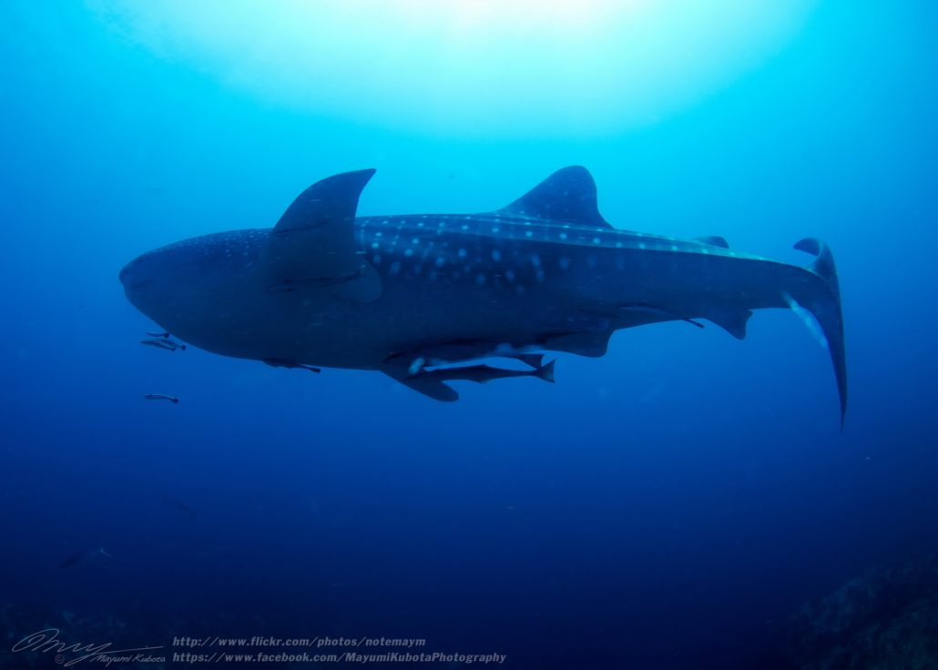 Mergui archipelago diving Whale shark at Fan Forest Pinnacle